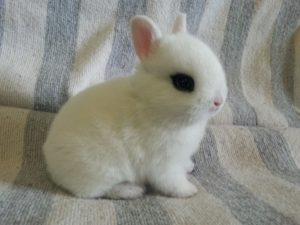 adorable conejo hotot pequeño blanco