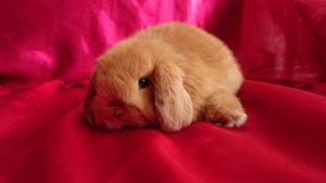 conejo belier mini lop miniatura