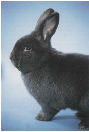 Conejo azul de Viena