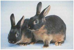 Conejo canela tostado
