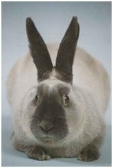 Conejo Cibelina