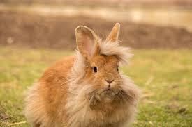 conejo cabeza de leon beige adulto
