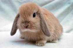 imagen de conejo mini lop