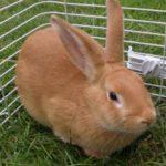 Conejo Palomino - Raza, hechos, temperamento, esperanza de vida y más