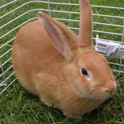 Conejo Palomino