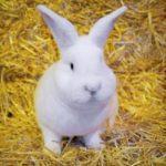Conejo de Viena