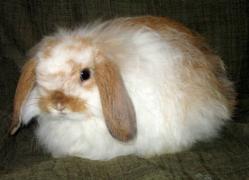 Conejo American Fuzzy Loop