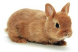 conejo belier gold