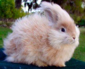 Conejo de Angora enano