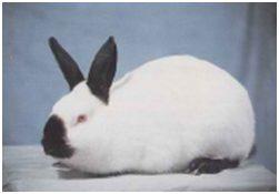 Conejo Himalayo