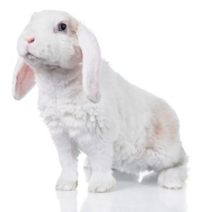 conejo mini lop  blanco