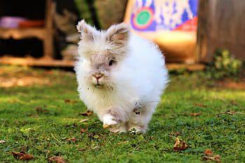 conejo cabeza de leon blanco