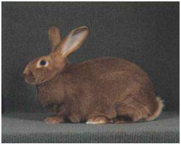 Conejo rojo neozelandes
