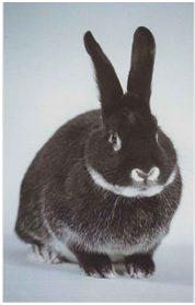 conejo zorro plateado