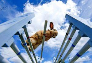 conejo entrenando kaninhop