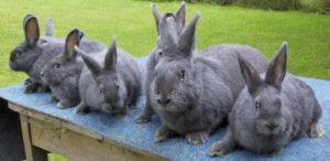 conejos azules de viena