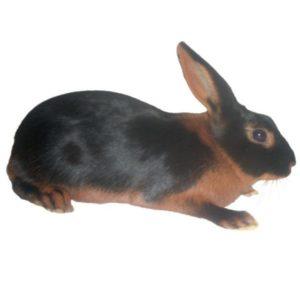 conejo lapin chevre