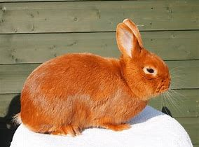 conejo thrianta