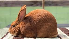 conejo nueva zelanda marrón