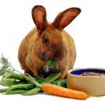 conejo rex comiendo zanahoria