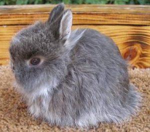 conejo peludo jersey wooly