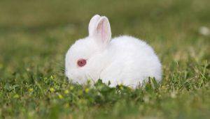 conejo enano polaco