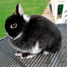 conejo enano holandes