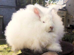 conejo angora gigante peludo