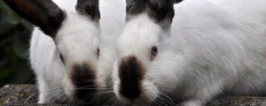 conejos californianos negros