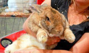 conejo gigante de flandes tierno marron