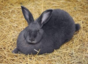 conejo gigante de flandes negro