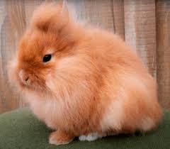 conejo cabeza de leon peludo