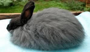 conejo angora francés peludo