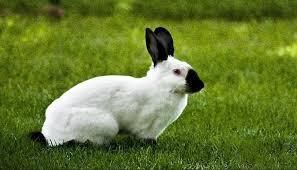 Conejo californiano negro adulto