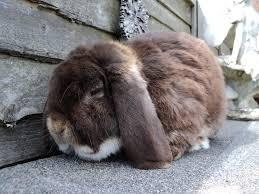 conejo belier holandés peludo