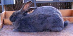 conejo azul americano