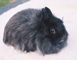 conejo jersey wooly negro lanudo