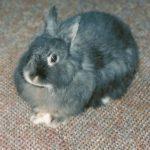 Razas de Conejos por continente y país