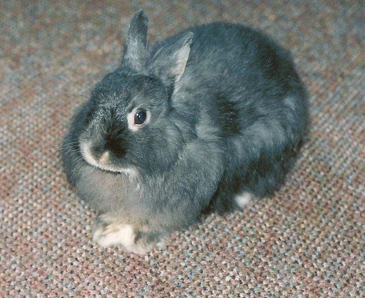 conejo jersey wooly gris y negro adulto