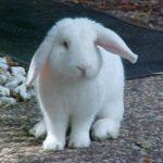 Que debe considerar si quiere comprar un conejo?