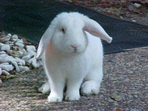 Conejo blanco de Florida orejas caidas