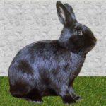 Conejo Alaska: la belleza de un conejo en todo su esplendor