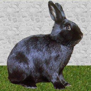 conejo alaska negro brillante