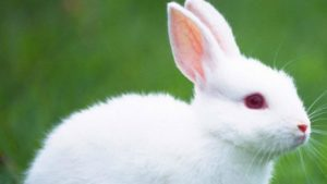Conejo blanco de Florida ojos rojos