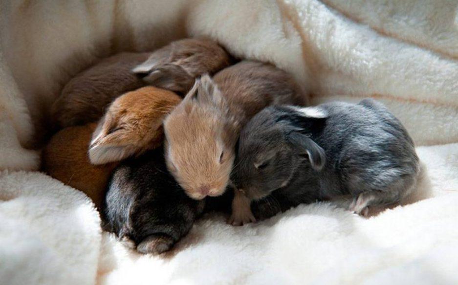 mastitis en conejos