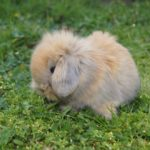 Conejos enanos: Todo sobre ellos