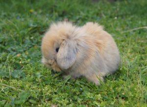 raza de conejo mini lop enano