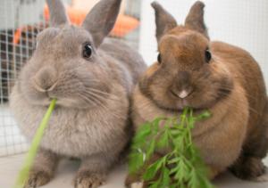 pareja de conejos comiendo