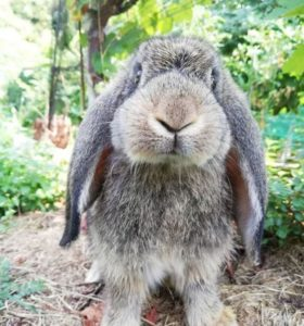 raza de conejo gigante continental