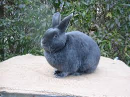 conejo satin gris oscuro